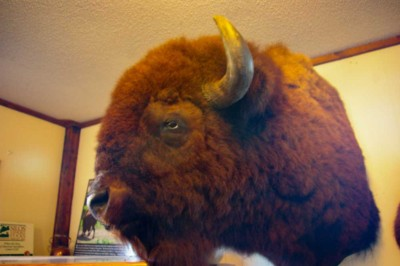 midwestern bison